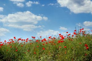 14-06 Poppies #1 by evionn