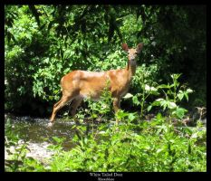 White Tailed Deer by FicktionPhotography