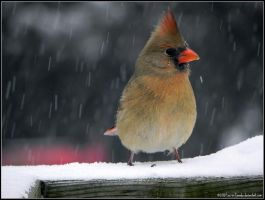 LadyCardinal by Lou-in-Canada
