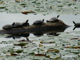 Turtles Looking For Sunlight 1 by docbevo