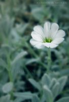 Tiny White Flower 9 by KSMPhotography