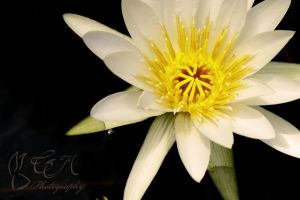 Water lily by DeadBunnyz