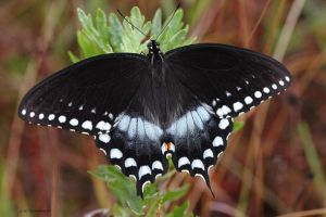 Spicebush Swallowtail 2011 by natureguy
