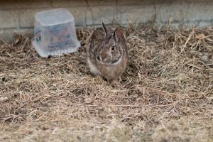 Well camouflaged bunny by captpackrat