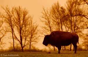 bison sunset by Yair-Leibovich