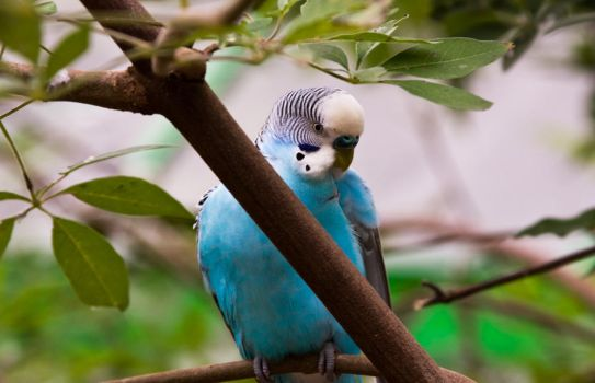 Blue Budgie by Katiemarie