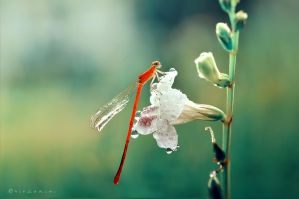 Red Damselfly by hirza