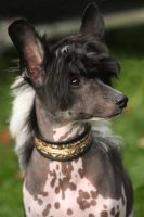 Spotted chinese crested by BlastOButter