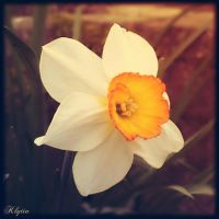 The last daffodil by Klytia70