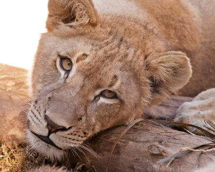 African Lion Cub 0227 by robbobert