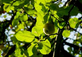apple in the shade by archaeopteryx-stocks