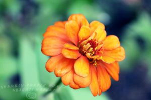 Orange Zinnia by sparkly-purple-ninja