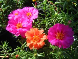 Moss Roses II by Neriah-stock