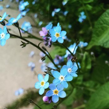 Forget-Me-Nots  by RaccoonCityBitch