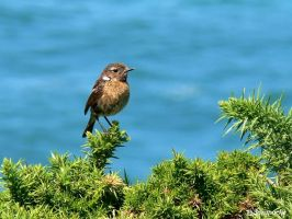 Stonechat near Espasa beach by Jorapache