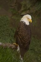Bald Eagle 2013 Toledo Zoo by toshema