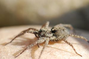 Hairy spider by Lydiie