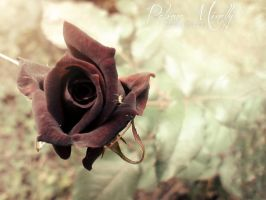 Red Rose by PMinelly