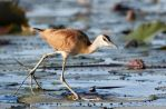 African Jacana by Lightkast
