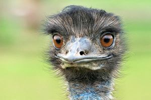 Emu by petege