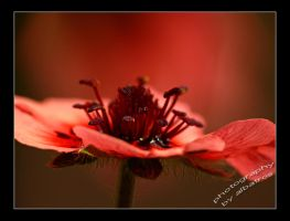 red flower by albatros1