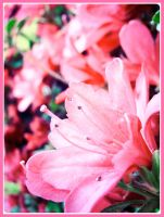 Pink by olivv