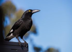 Magpie Yellow Eye by droy333