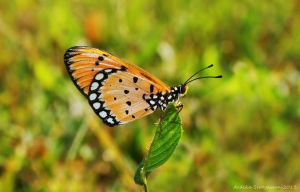Acraea Terpsicore ( Tawny Coster Butterfly ) by septle2
