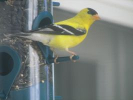 Goldfinch VII by LithiumStock
