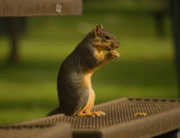 Eastern Fox Squirrel September - 2014 - 6 - 1 by toshema