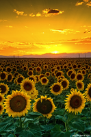 Golden August by kkart