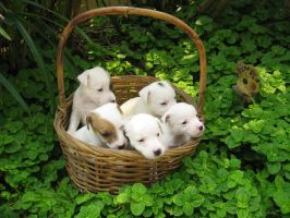 Basket of Puppies by crazy-chinita-chick