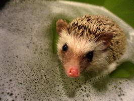 .hedgie bath time. by Foozma73
