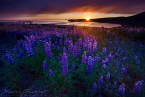 Lupins Sunset by XavierJamonet