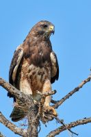 Swainson's Hawk-The Prize by JestePhotography