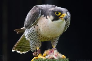 Peregrine Falcon Feeding by runique