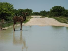 kudu on water by matim01