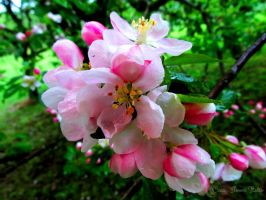 Apple Blossom 1 by Nomalimae