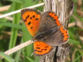 Small Copper Butterfly by AWKYWOLF99
