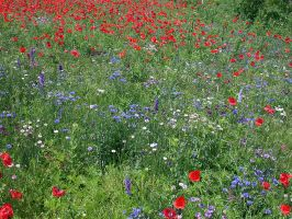 Poppies and Wildflowers I by wulfster