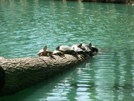 Turtles in the Sun by Fully-Stocked