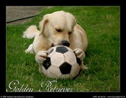 Golden Retriever with ball by hayhey