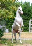 White appaloosa rear stock by xxMysteryStockxx