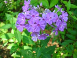 purple phlox by crazygardener