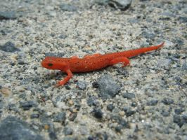 Eastern Red-Spotted Newt from North Carolina by LadyElasa