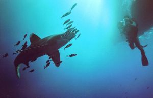 Oceanic whitetip shark by puscheli