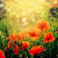 Poppies by CasheeFoo