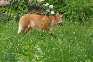 maned wolf by Prinzess-Stock