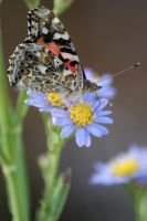 American Lady on Asters 3 by poetcrystaldawn