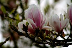 Tulip - Tree by basfurst